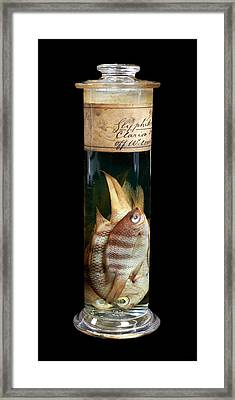 Sergeant Major Fish Framed Print by Natural History Museum, London