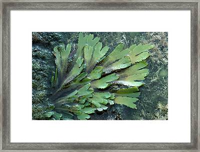 Serrated Or Toothed Wrack Framed Print