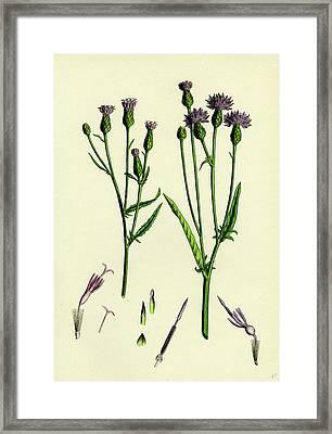 Serratula Tinctoria Common Saw-wort Framed Print by English School