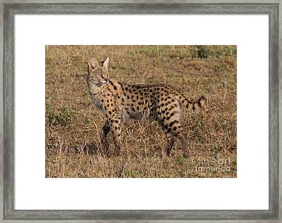 Serval Cat 3 Framed Print by Chris Scroggins