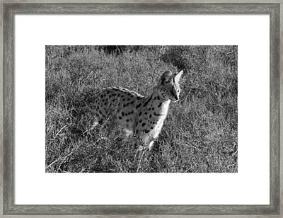 Serval Framed Print by Chris Whittle