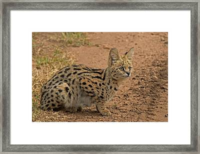 Serval Wild Cat Framed Print by Tony Murtagh