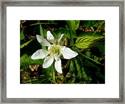 Serviceberry In Park Sierra-ca Framed Print by Ruth Hager