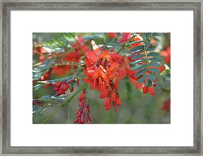 Sesbania Punicea - Rattlebox Framed Print by rd Erickson