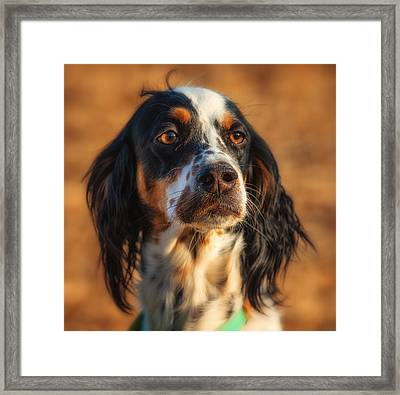 Setter Heaven Framed Print by Reflections Afield Photography - Steve Hill