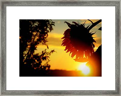 Framed Print featuring the photograph Setting Sunflower by Aurelio Zucco