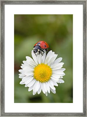 Seven-spotted Ladybird On Common Daisy Framed Print by Konrad Wothe