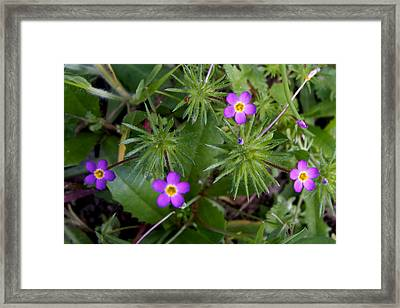 Several Mustang Lianthus In Park Sierra-ca Framed Print by Ruth Hager