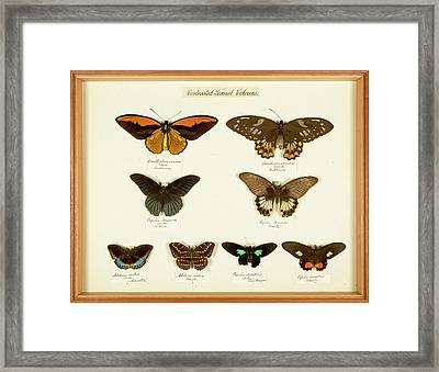 Sexual Dimorphism In Butterflies Framed Print by Natural History Museum, London