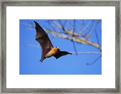 Seychelles Flying Fox Framed Print by M. Watson