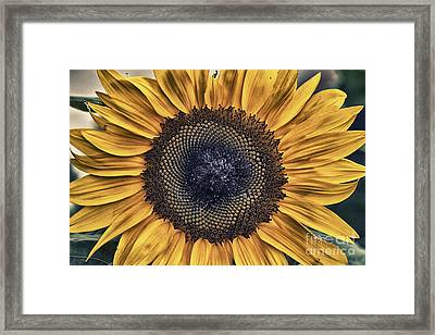 Shabby Chic Sunflower Framed Print by Cris Hayes