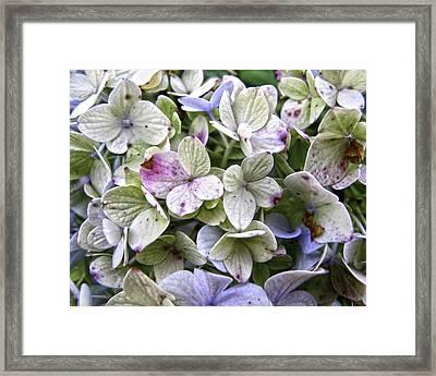 Shabby Hydrangea Framed Print by Rose  Fleming