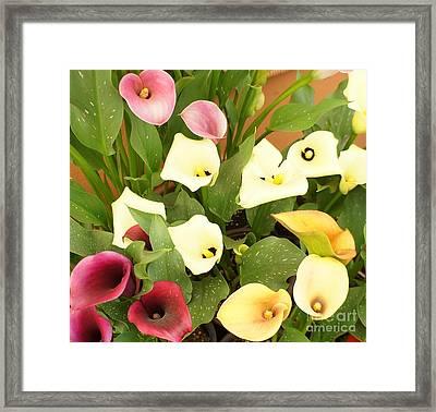 Shades Of Calla Lilies Framed Print