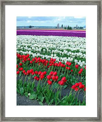 Shades Of Tulips Framed Print