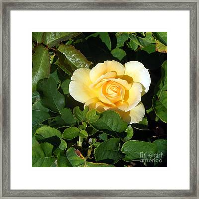Shadowed Yellow Rose Framed Print