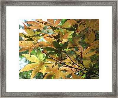 Shadows Of Maple  Framed Print
