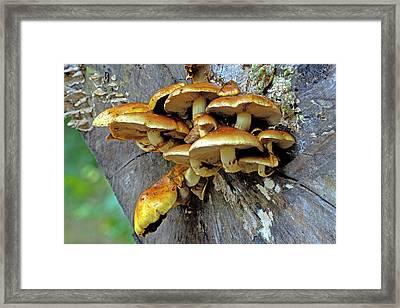 Shaggy Pholiota (pholiota Aurivella) Framed Print by Bildagentur-online/mcphoto-schulz