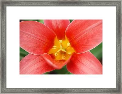 Shakespeare Tulip Framed Print