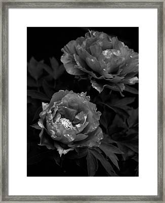 Framed Print featuring the photograph Shakuyaku by Rachel Mirror
