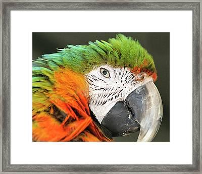 Shamrock Macaw, First Generation Hybrid Framed Print by Matt Freedman
