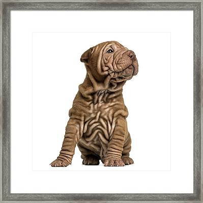 Shar Pei Puppy Sititng, Looking Up Framed Print by Life On White