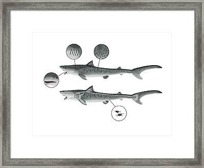 Shark Anatomy Framed Print by Mikkel Juul Jensen