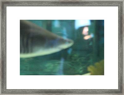 Shark - National Aquarium In Baltimore Md - 121210 Framed Print