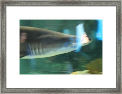 Shark - National Aquarium In Baltimore Md - 121211 Framed Print by DC Photographer
