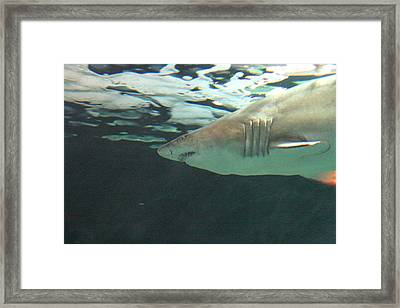 Shark - National Aquarium In Baltimore Md - 121218 Framed Print