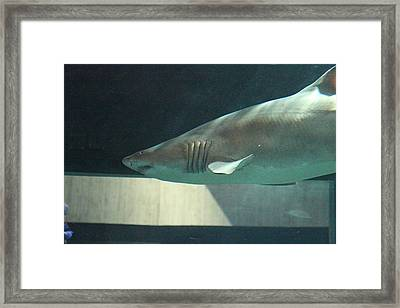 Shark - National Aquarium In Baltimore Md - 121221 Framed Print by DC Photographer