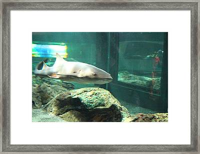 Shark - National Aquarium In Baltimore Md - 12128 Framed Print