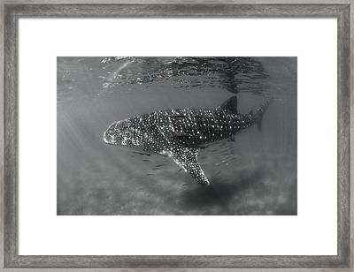 Shark Rays Framed Print by David Valencia