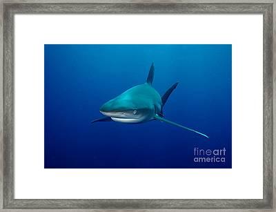 Sharks Framed Print by Boon Mee