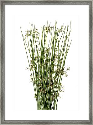 Sharp Grass Framed Print by Aleksandr Volkov