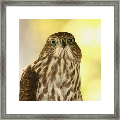 Sharp-shinned Hawk Framed Print by Bob and Jan Shriner