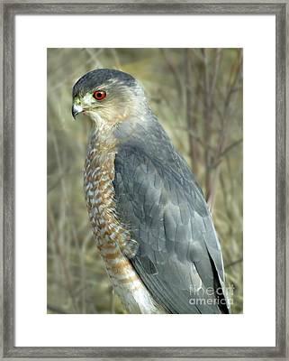 Sharp-shinned Hawk Framed Print by Darleen Stry