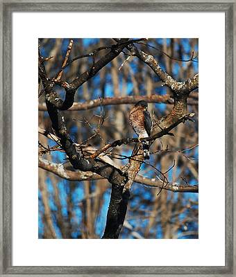 Sharp Shinned Hawk Framed Print by Mim White