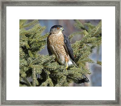 Sharp Shinned Hawk Framed Print by Rodney Campbell