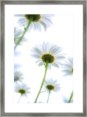 Shasta Daisies Framed Print by Diane Diederich