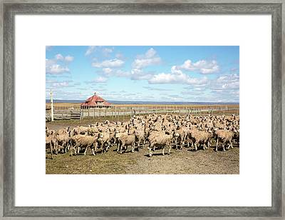Sheared Sheep On A Patagonian Estancia Framed Print by Peter J. Raymond