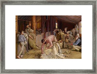 Shearing The Rams  Framed Print