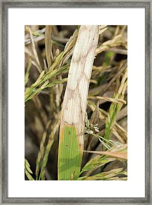 Sheath Blight Disease In Rice Framed Print by Peggy Greb/us Department Of Agriculture