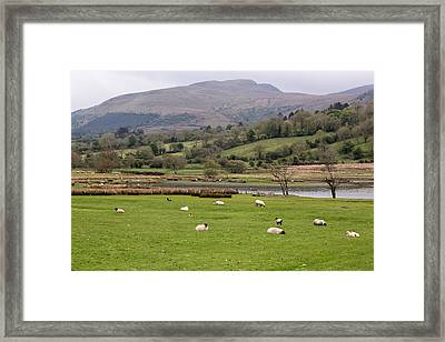 Sheep At Glencar Lake Framed Print by MaryGail Perkins