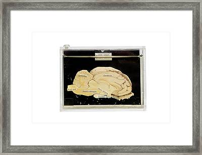 Sheep Brain Framed Print by Gregory Davies