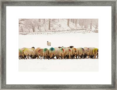 Sheep Eating Winter Feed Framed Print