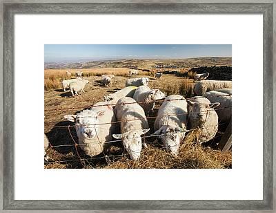 Sheep Feeding On Hay On Ovenden Moor Framed Print by Ashley Cooper