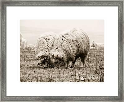 Sheep Grazing Framed Print by Gabriela Insuratelu