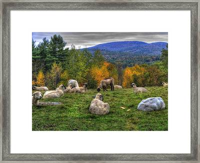 Sheep Grazing On Mountain  Framed Print