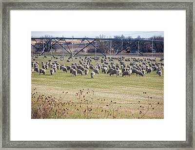 Sheep Grazing Under An Irrigation Boom Framed Print by Jim West