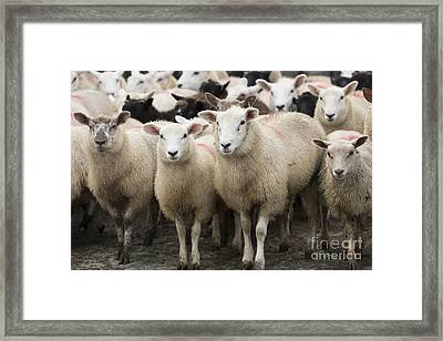 Sheep In A Farm Yard Framed Print by Louise Heusinkveld